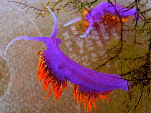 Snapshot of the beautiful Spanish shawl, Flabellina iodinea, nudibranch on display at the Birch Aquarium today