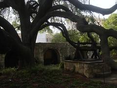 Oak Tree at The Alamo