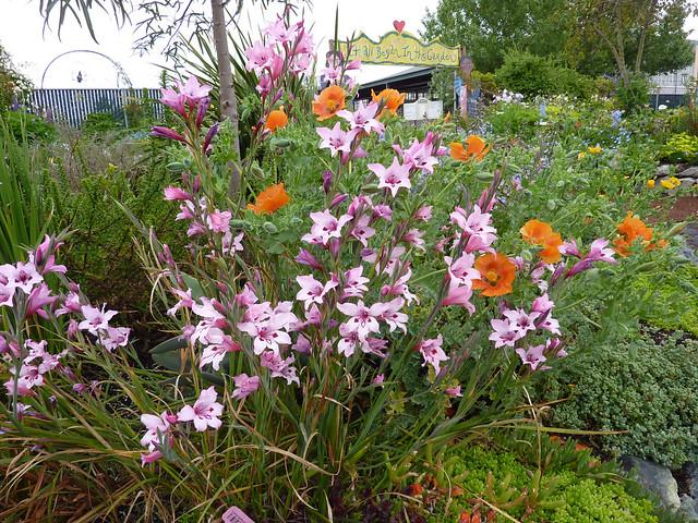 """Gladiolus carneus """"Painted Lady"""" & Glaucium grandiflorum GOOD copy"""