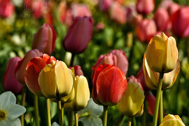 I love tulips!!