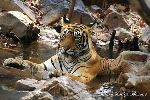 Thanda Thanda Cool Cool - Princess of Ranthambhore  #3
