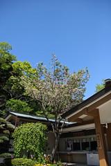 江の島めぐり―辺津宮の桜(Cherry blossoms at Hetsumiya shrine, Enoshima, 2011)