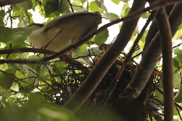 Night Heron Nest