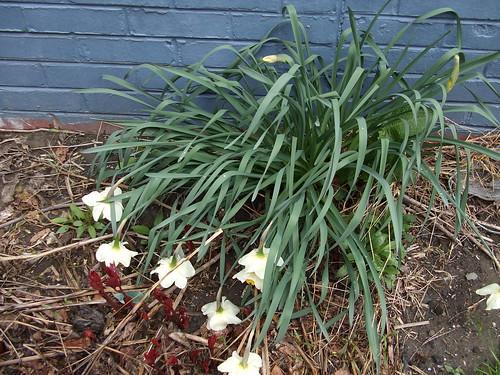 Sad daffodils