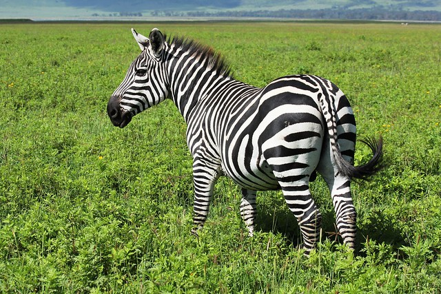 Good Zebra Morning