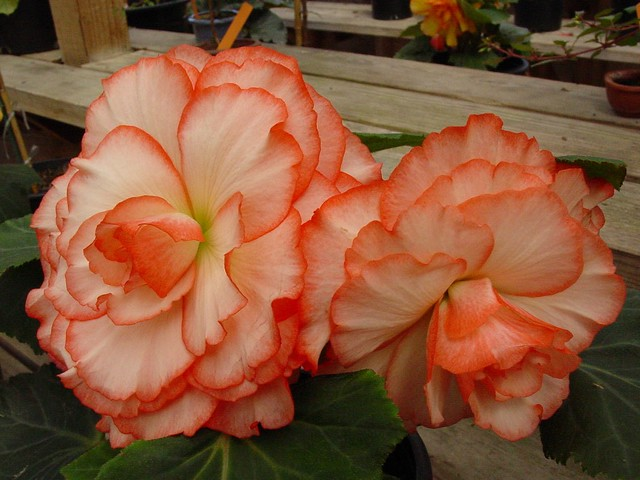Large Flowered Begonias (6/6)