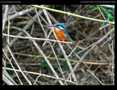 Common Kingfisher | Kabini