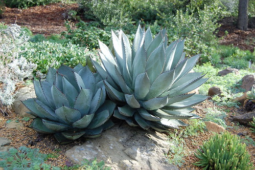 Agave parryi ?