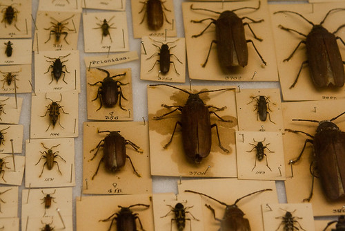 Beaty Museum  Beetles