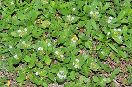 Richardia brasiliensis (Mexican Clover)