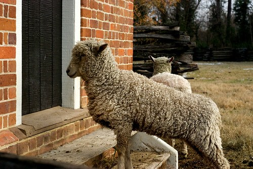 Williamsburg Sheep