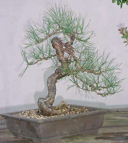 Scot's Pine Progression 1998 – 2010 (2/6)
