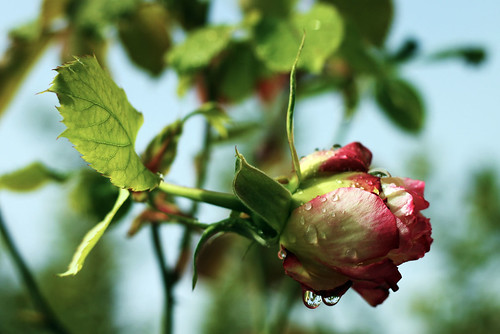 December-Rose-3