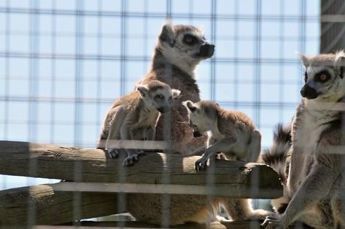 Kattas im Hamerton Zoo Park