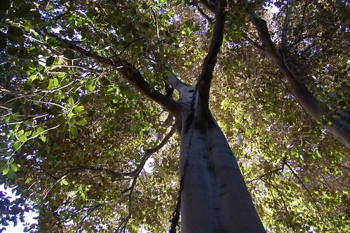 Ficus columnaris