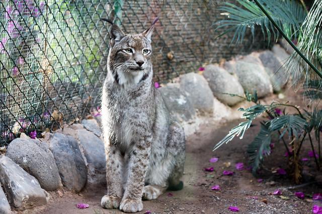 Lynx - Oasis Park