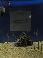 夜探台灣水域館:條紋蝦魚