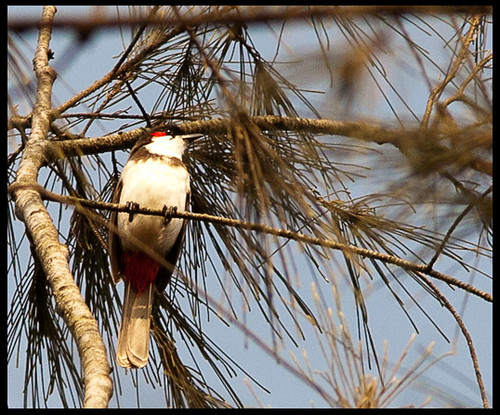 Red-Whiskered Bulbul by Sushil