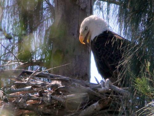 Eaglet and eagle 3-20110123