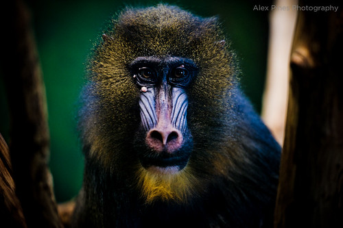 the mandrill king