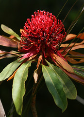 New South Wales Waratah