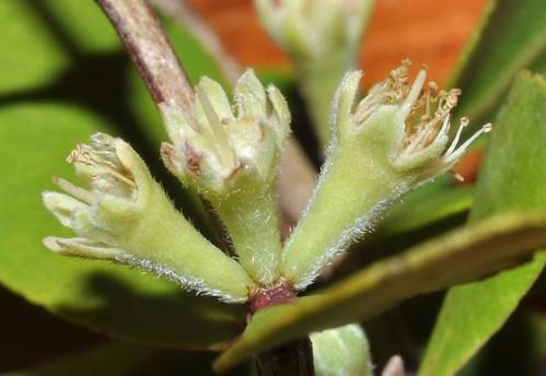 Osbornia octodonta (Myrtle Mangrove)