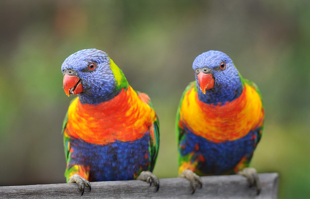 rainbow lorikeets duo