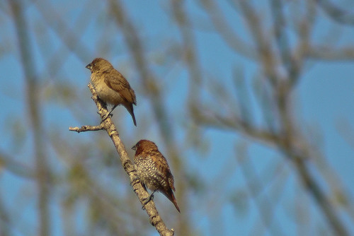 Scaly Breasted Munia spotted at valley school