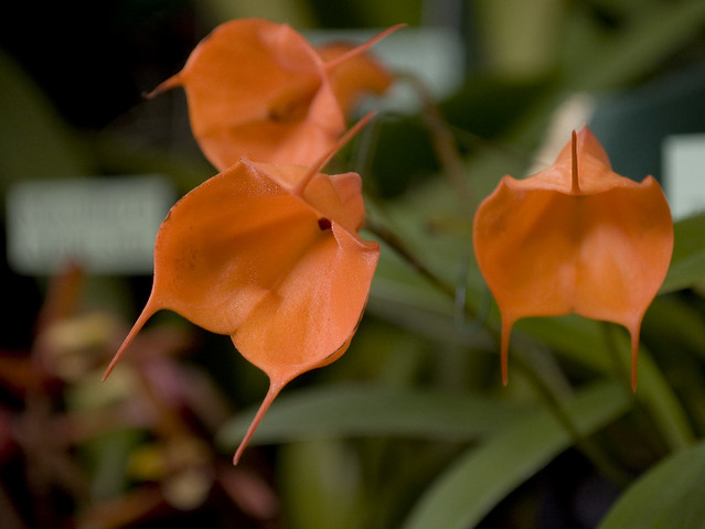 Masdevallia Tangerine Dream