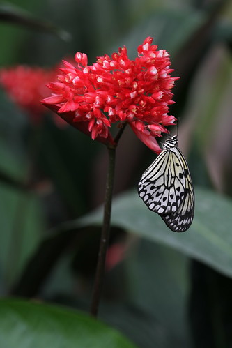 Butterfly and Red
