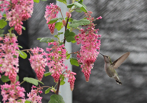 Ribes 'Claremont' and hummer