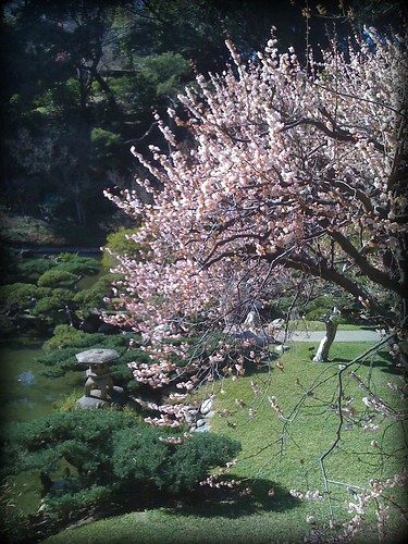 Sakura in the Japanese garden