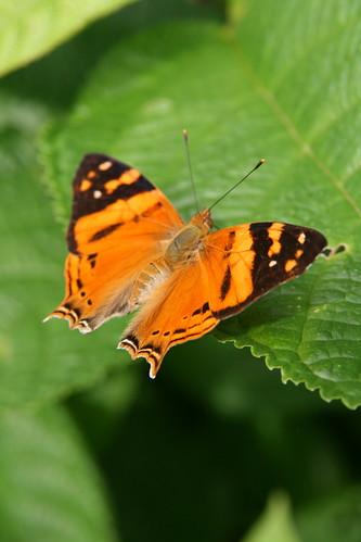 mariposa VII