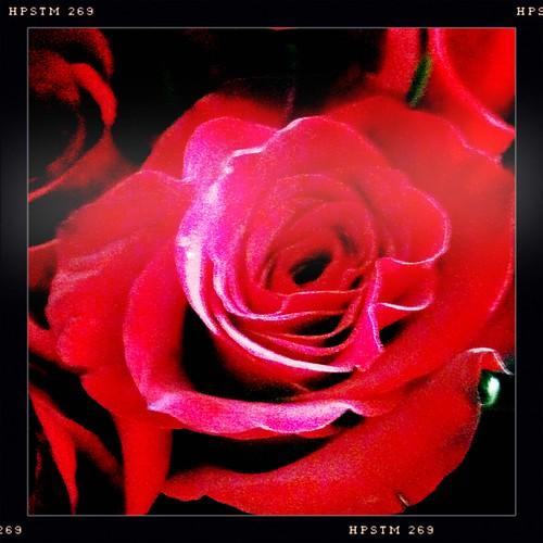 Valentine's Roses #2