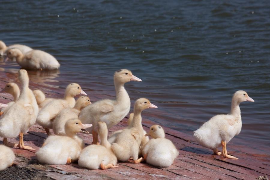 20110205_07_Beautiful Duckling_04