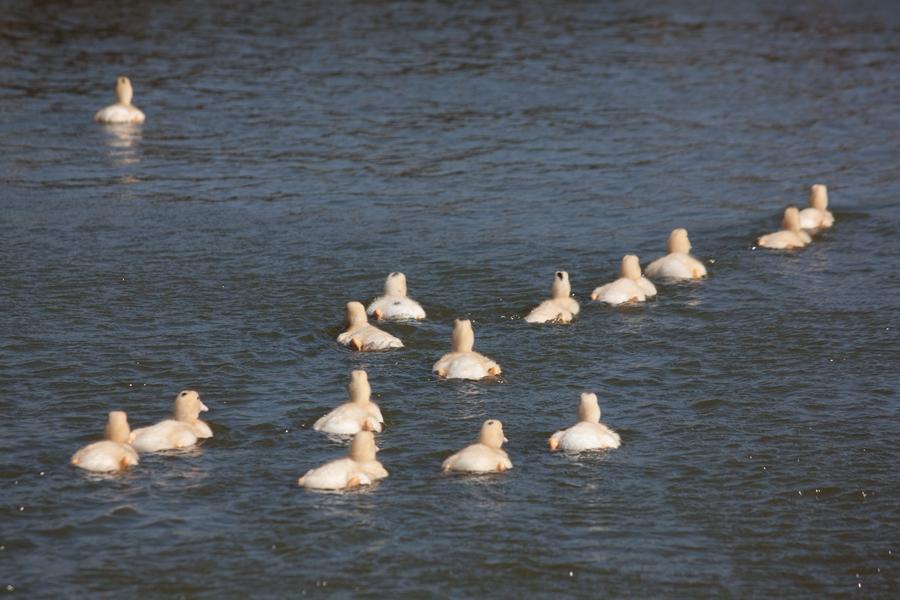 20110205_07_Beautiful Duckling_05
