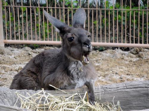 Kangaroo, chewin on some stuff