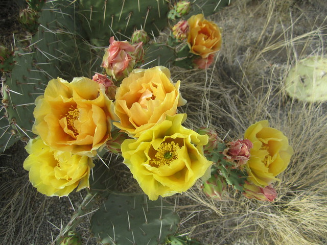Cacti Flowers II