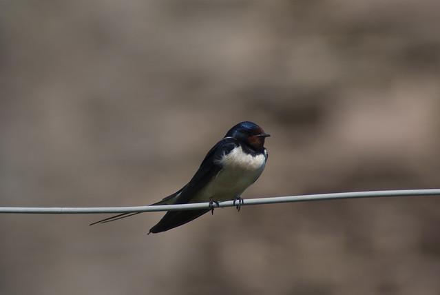 (Barn) Swallow