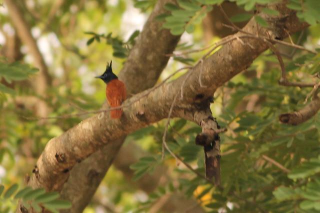 Asian Paradise Flycatcher(Female)