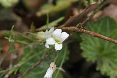 自然環境保全センターのスズシロソウ?(Flower, Nature Preservation Center, Kanagawa, Japan)