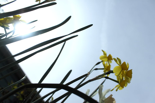 Boxworthy's View Of Daffodils