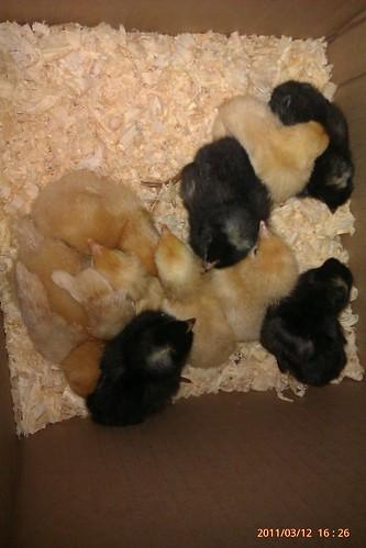 Baby Chicks by MajoraSue