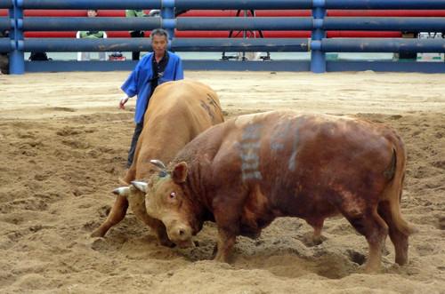 'Bull wrestling' seems more appropriate