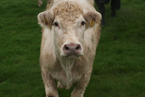 cow staring at the camera