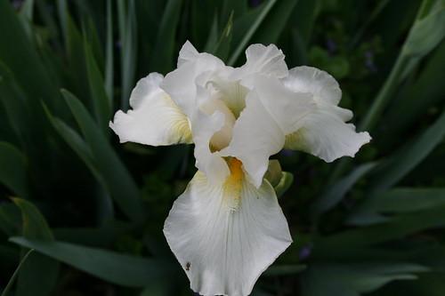 Newly opened white iris