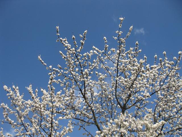 Cherry blossom / Cerisier en Fleur