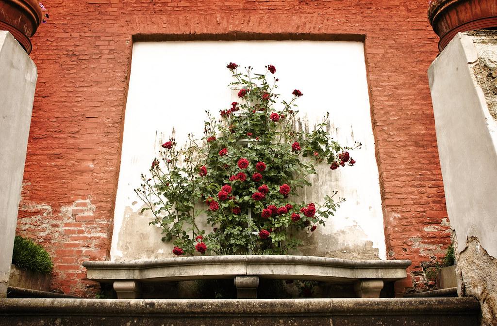 Red Queen's Roses