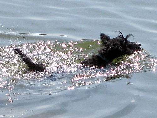 Scottish Terrier channel swimmer