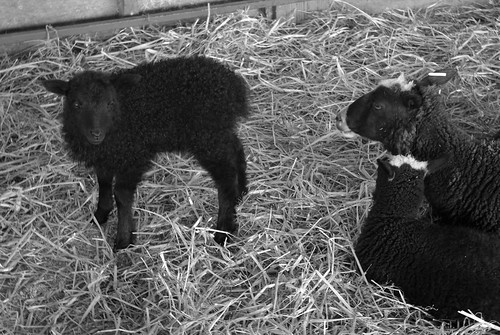 Baby lamb and its adoptive family
